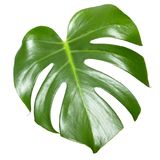 Monstera leaf  on white. Exotic tropical plant Stock Photography