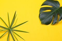The monstera leaf. A monstera leaf on the yellow background Royalty Free Stock Image