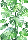 Monstera leaves background Royalty Free Stock Images