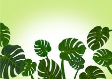 Monstera leaves background Stock Photos