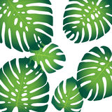 Monstera leaves. Background pattern with tropical leaves of monstera Stock Photo