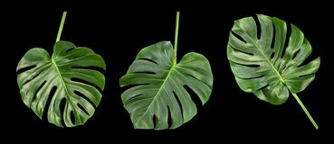 Monstera leaves black background Floral border. Monstera leaves isolated on black background. Floral border tropical plant royalty free stock photo