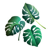 Monstera leaves. Botanical exotic, tropical plants on a white ba Royalty Free Stock Image