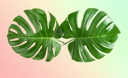 Monstera leaves exotic plant VIntage toned trendy colors. Monstera leaves on trendy colors background. Tropical exotic plant. VIntage toned picture royalty free stock images