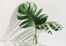 Free Monstera Leaves In Glass Jug With Sunlight And Long Shadow On Wall Stock Photo - 165703920