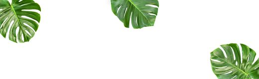 Monstera leaves isolated white background Floral banner. Monstera leaves isolated on white background. Floral banner tropical plant stock photos