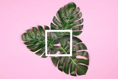 Monstera leaves on pale pink background with frame. Three beautiful shiny artificial monstera palm leaves on pale pink background and white square frame as royalty free stock photo