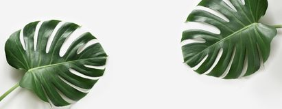 Monstera leaves plant on white background. Isolated with copy space. Banner. Stock Photography