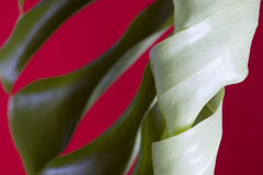 Monstera leaves on red Royalty Free Stock Photo
