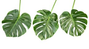 Monstera leaves Tropical exotic plant. Monstera leaves isolated on white background. Tropical exotic plant stock photo