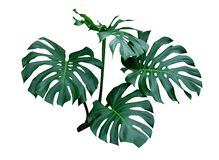 Monstera leaves, the tropical plant evergreen vine isolated on white background, clipping path. Included royalty free stock images