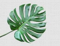 Monstera leaves on white background.Tropical,botanical. Real monstera leaves on white background.Tropical,botanical nature concepts ideas.flat lay.clipping path stock photos