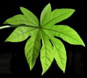 Monstera liść odizolowywający Zdjęcia Stock