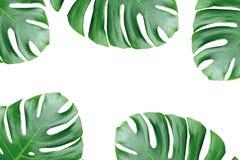 Monstera liście odizolowywający na białym tle royalty ilustracja