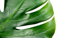 Monstera Liana. Big green leaf on a white background. Macro stock photo