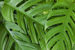 Monstera liana, vine top view still life background tropical wal royalty free stock photo