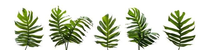 Monstera múltiple, las hojas tropicales fijó aislado en el backgro blanco imagen de archivo