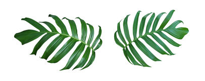Monstera-Pflanzenblätter, die tropische immergrüne Rebe an lokalisiert Stockbilder
