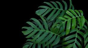 Monstera-Pflanzenblätter, grüner tropischer Wald, immergrüne Rebe an stockbilder