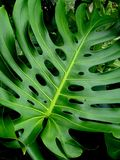 Close up of a Monstera plant leaf stock photo