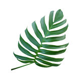 Monstera plant  leaf, the tropical evergreen vine isolated on wh. Ite background, clipping path Royalty Free Stock Photo