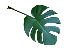 Monstera plant leaf, the tropical evergreen vine isolated on white background, path. Monstera plant leaf, the tropical evergreen vine isolated on white Stock Photos