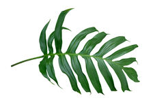 Monstera plant  leaf, the tropical evergreen vine isolated on white background, path Royalty Free Stock Images