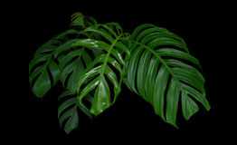 Monstera plant leaves, green tropical forest, evergreen vine on stock images