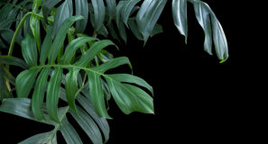 Monstera plant leaves, green tropical forest, evergreen vine on Royalty Free Stock Photos