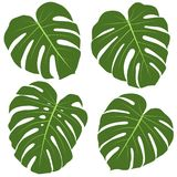 Monstera Plant Leaves Shapes Set. On White Background. Vector Illustration. Tropical Leaves Design Elements Stock Photos