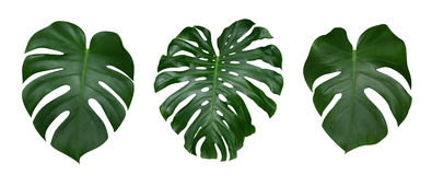 Free Monstera Plant Leaves, The Tropical Evergreen Vine Isolated On White Background, Path Royalty Free Stock Images - 98256559