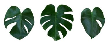Monstera plant leaves, the tropical evergreen vine isolated on white background, path Stock Photo