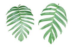 Monstera plant  leaves, the tropical evergreen vine isolated on. White background, clipping path included Stock Photo