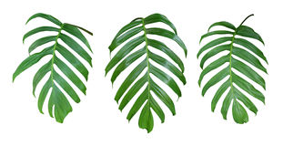 Monstera plant leaves, the tropical evergreen vine isolated on white background, path Royalty Free Stock Image