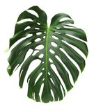 Monstera plant leaves, the tropical evergreen vine Royalty Free Stock Photography