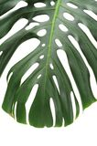 Monstera plant leaves, the tropical evergreen vine Stock Image