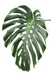 Monstera plant leaves, the tropical evergreen vine royalty free stock images