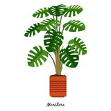 Monstera plant in pot Royalty Free Stock Images