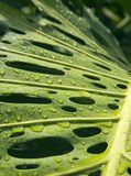 Monstera after the rain. Water droplets on a Monstera leaf royalty free stock image