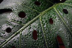 Monstera after the rain. Monstera plant with natural dew droplets Stock Image
