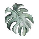 Monstera rośliny liść zdjęcie stock