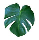 Monstera rośliny liść tropikalny wiecznozielony winograd odizolowywający na białym tle, ścieżka Zdjęcie Royalty Free