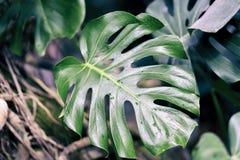 Monstera sidor med textur, tropisk naturlig bakgrund Dela-blad philodendron, tropisk lövverk Abstrakt naturligt Fotografering för Bildbyråer