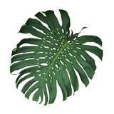 Monstera tropiskt blad som isoleras på vit bakgrund, snabbt PA Arkivfoto