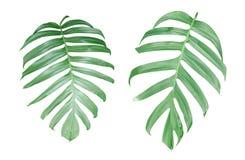 Monstera växtsidor, den tropiska vintergröna vinrankan som isoleras på Arkivfoto