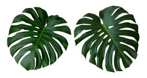 Monstera växtsidor, den tropiska vintergröna vinrankan som isoleras på vit bakgrund, bana royaltyfri foto