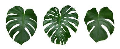 Monstera växtsidor, den tropiska vintergröna vinrankan som isoleras på vit bakgrund, bana Royaltyfria Bilder