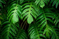 Monstera verde sae aka da planta do queijo suíço foto de stock royalty free