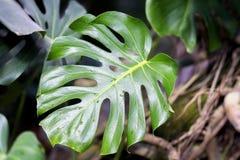 Monsterabladeren met textuur, Tropische natuurlijk Spleet-blad philodendron, tropisch gebladerte Abstract natuurlijk patroon Stock Fotografie