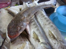 Monstergesichtsfische Stockfoto